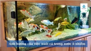 Ảnh hưởng của việc nuôi cá trong nước ô nhiễm