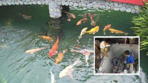 Xử lý nước phèn nuôi cá
