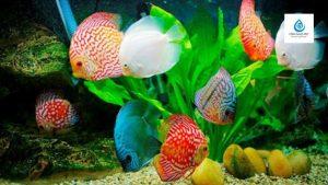 Cách xử lý nước phèn nuôi cá