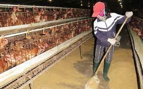 Xử lý nước thải chăn nuôi gà