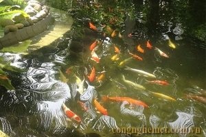 Hồ nuôi cá bị vàng