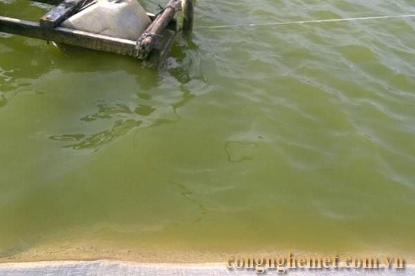 Nước ao có màu xanh nhạt