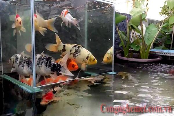 Xử lý nước máy trước khi nuôi cá